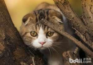 猫咪养护问题之猫咪不使用猫抓板-成猫饲养